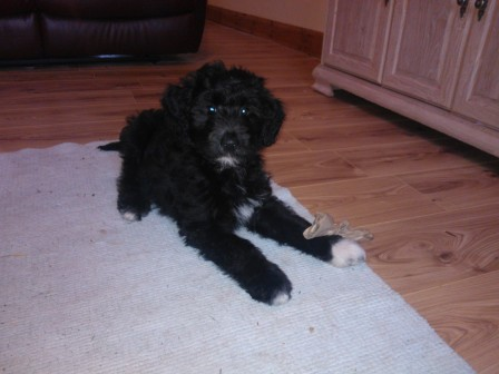 Bordoodle puppy on rug