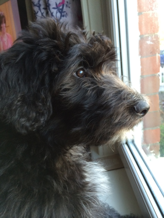 Bordoodle staring out of window