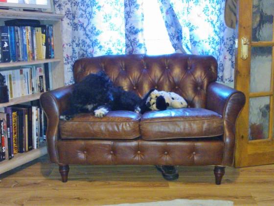 Bordoodle on sofa