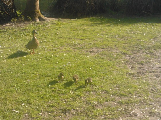Ducklings in the park